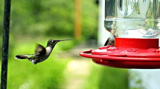 Hummingbird Feeder Free From Bees and Insects