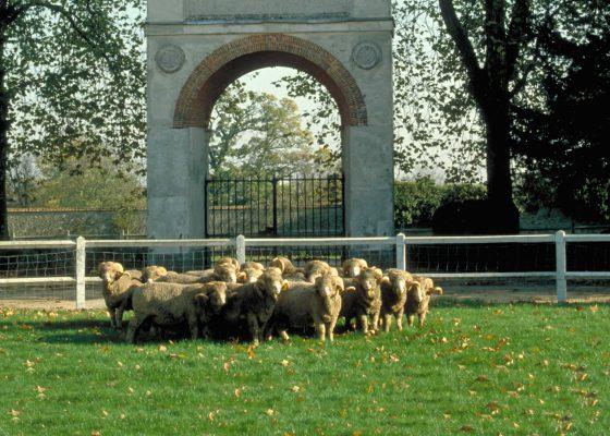 Le conservatoire de la race des Moutons Mérinos.