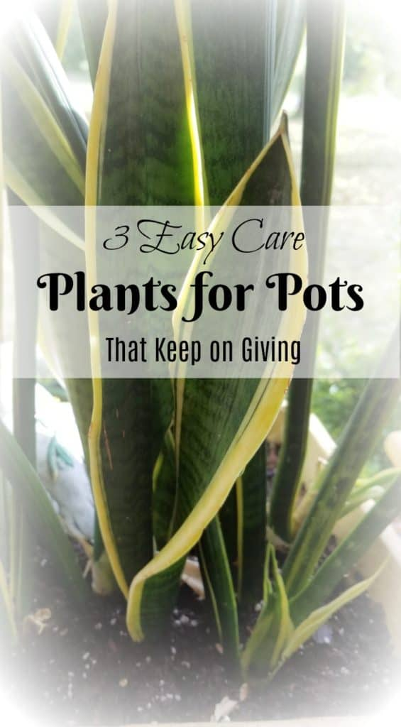 3 easy care plants for pots that keep on giving