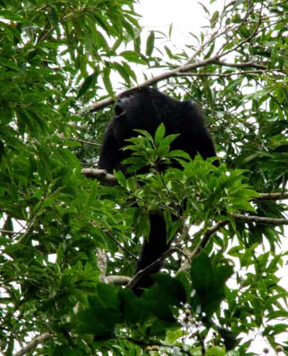 Wildlife in Yaxha - Howler Monkey