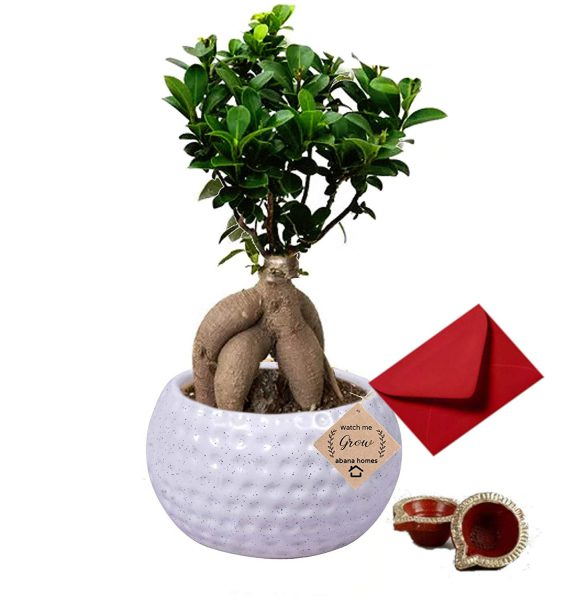 Diwali Gift Ficus Bonsai Plant with 2 Diya and A Hand-Written Card