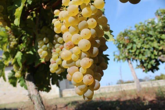 vin blanc raisin tourraine saumur