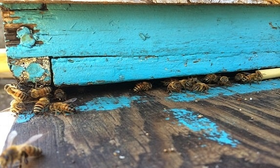 Bees in a Queenless Hive