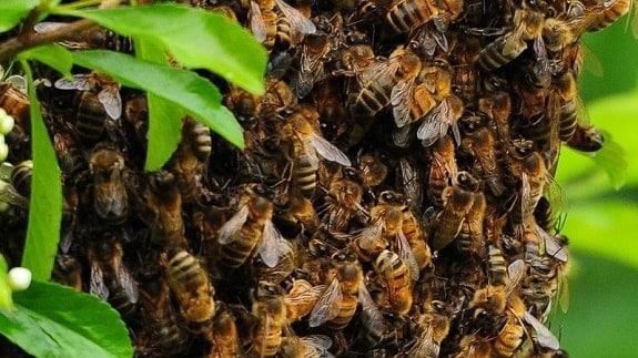 Honey Bees Swarming in Spring