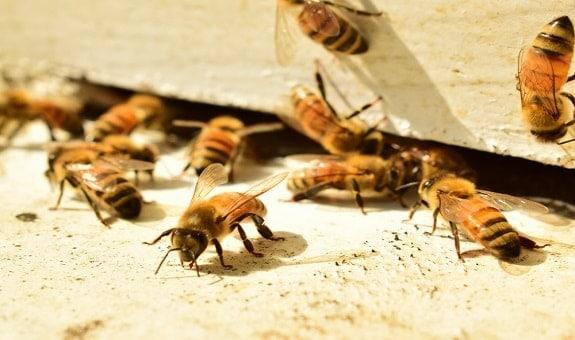 Honey Bees Near Beehive Entrance