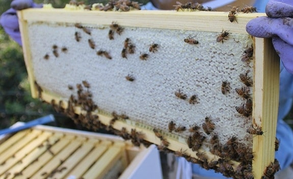 Super Frame With Capped Honey