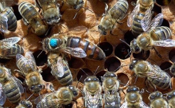 How to Mark Queen Honey Bee