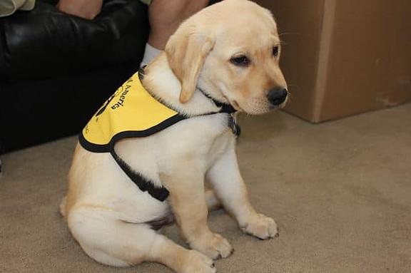 Toby GDA Puppy In Training