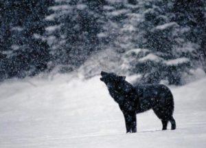 wolf heult im schnee