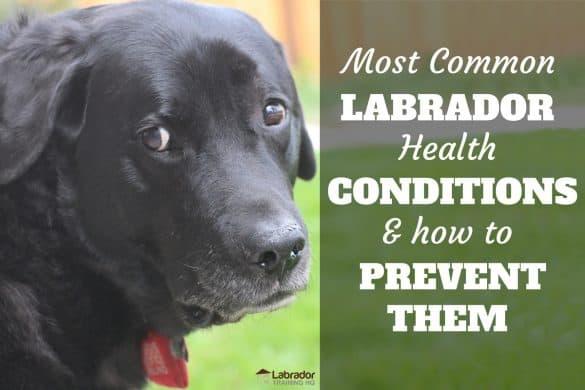 Common Labrador Health Problems - Senior black Lab staring back at the camera