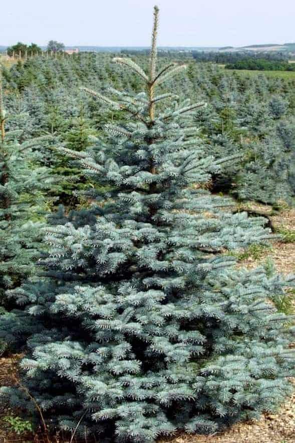 Picea pungens SILVER GRAN stl. 160-200cm