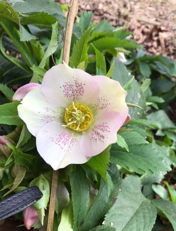 White lenten rose with a touch of pink blooming in February
