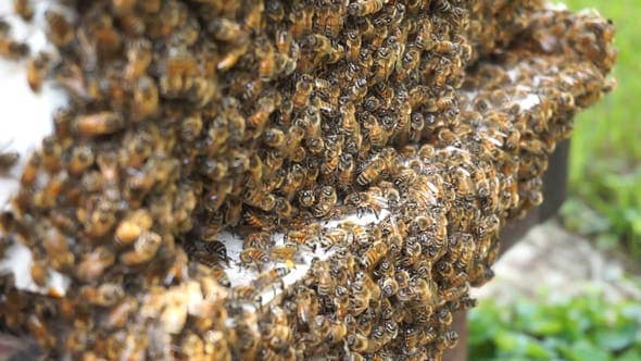 Crowded Beehive Entrance