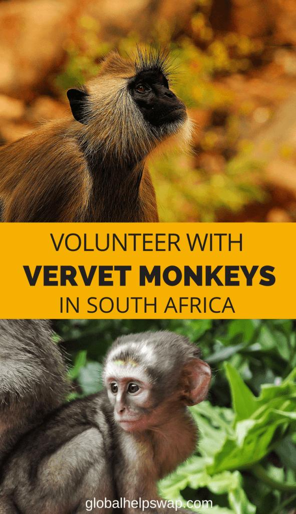 Volunteer with Vervet Monkeys in South Africa