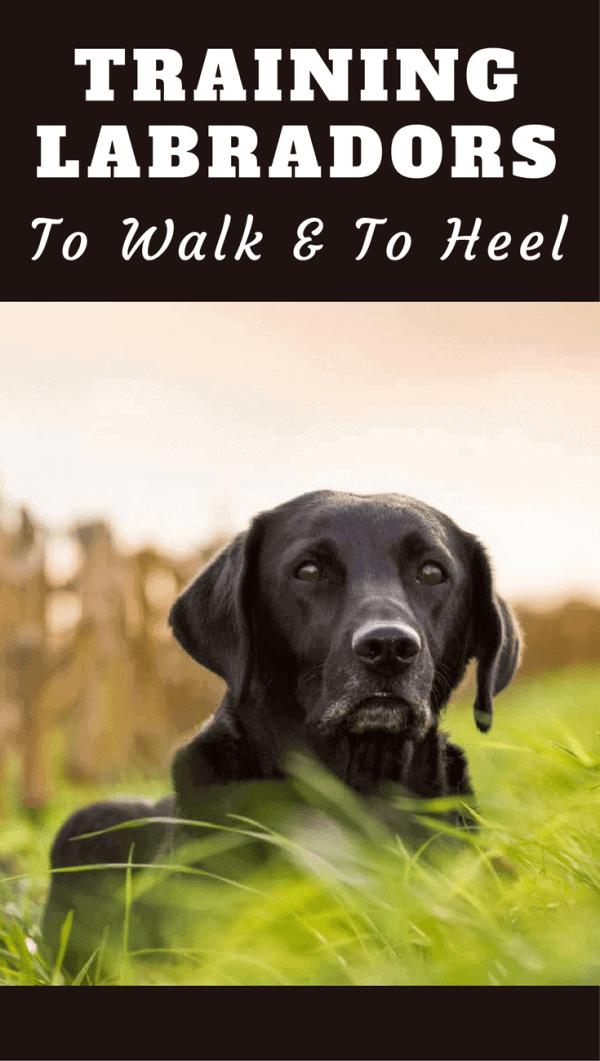 Training a Labrador to Walk to Heel