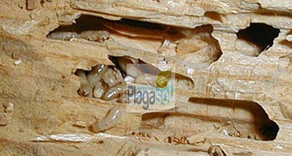 Eliminar plagas de termitas