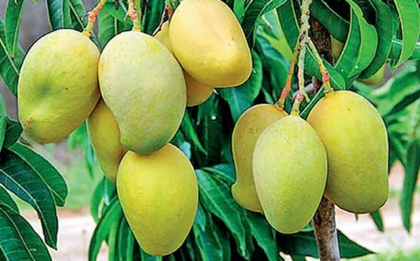 health benefit of mango