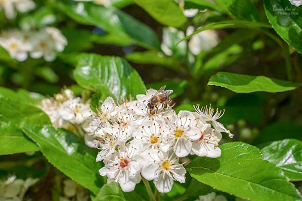 chokeberry blooms
