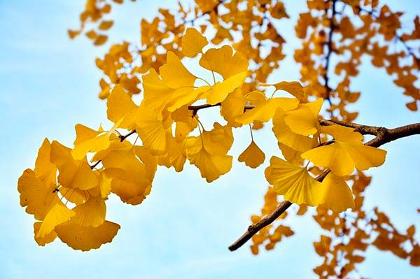 gingko leaves in the Fall