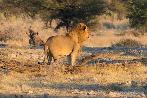 male lion in Etosha Park Namibia, Africa   40plusstyle.com