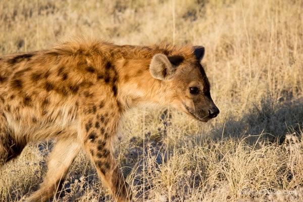 closeup of hyena in Etosha Park Namibia, Africa   40plusstyle.com