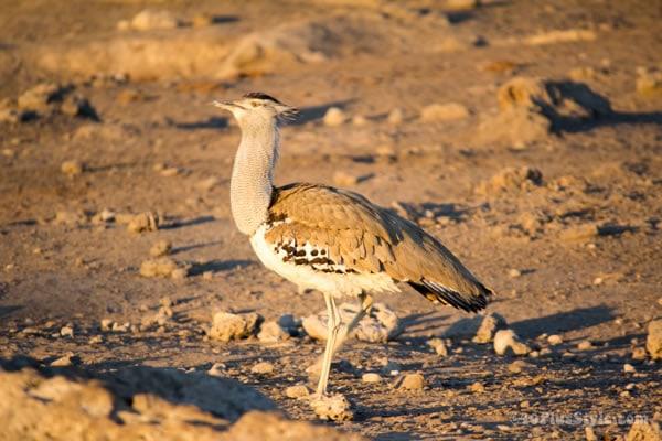 bird in Etosha Park Namibia, Africa   40plusstyle.com