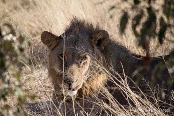 lion in Etosha Park Namibia, Africa   40plusstyle.com