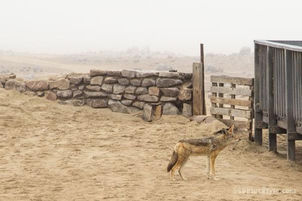 lone jackal Namib Desert | 40plusstyle.com