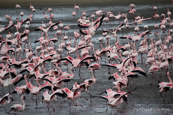 pink flamingoes about to fly | 40plusstyle.com