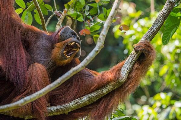 Orangutan-tree-image