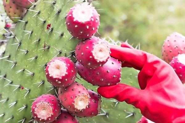 Picking prickly pears from nopal cactus