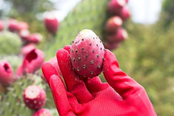 Prickly pear in rubber glove hand