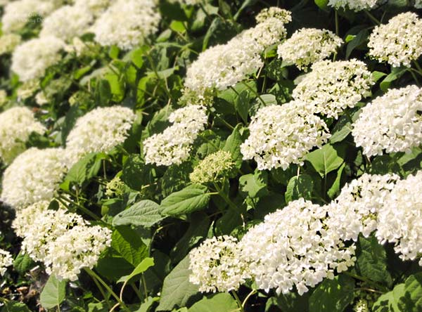 Anabelle smooth hydrangea