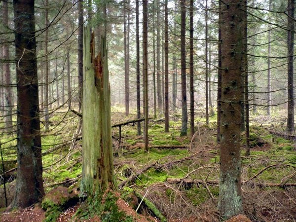 Monitoring reakcji Nadleśnictwa Czerwony Dwór: konsultacje społeczne prac leśnych niezgodnych ze standardem FSC