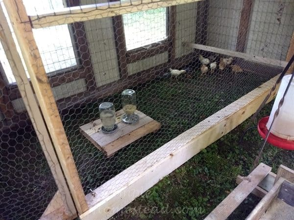 chicks in back partition of coop