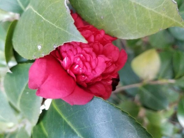 Camellia, red flower, winter flower, red camellia, winter garden