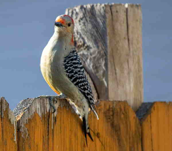 red bellied woodpecker sitting on a fence.