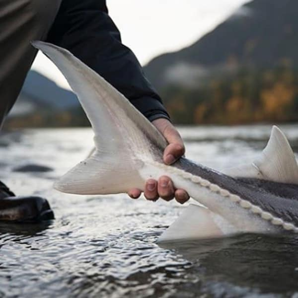 STURGEON FISHING FRASER RIVER