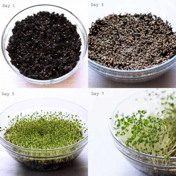 Growing Chia Sprouts in Soil