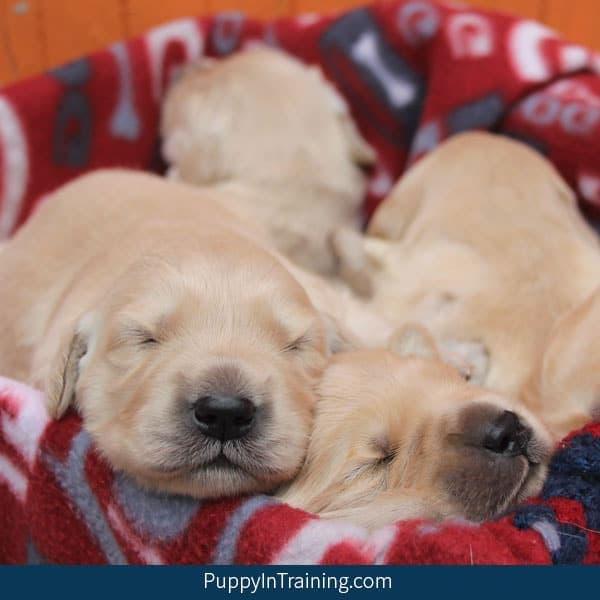 Our litter of Golden Retriever Puppies Week Two