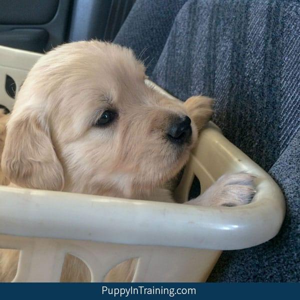 Our litter of Golden Retriever Pups - Week 5