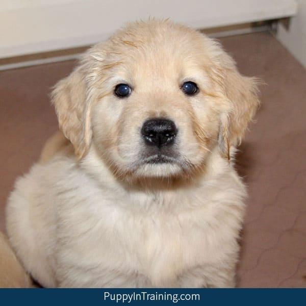 One Seven Week Old Golden Retriever Puppy!