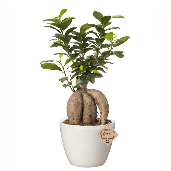 Ginseng Grafted Ficus Bonsai 4 Years Old