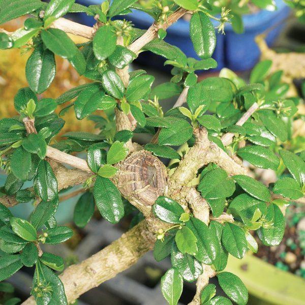 Carmona Bonsai Tree (5 Yrs Old) x 20cm
