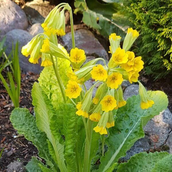 Kevätesikko - Primula veris - Gullviva - Siemenet täältä!