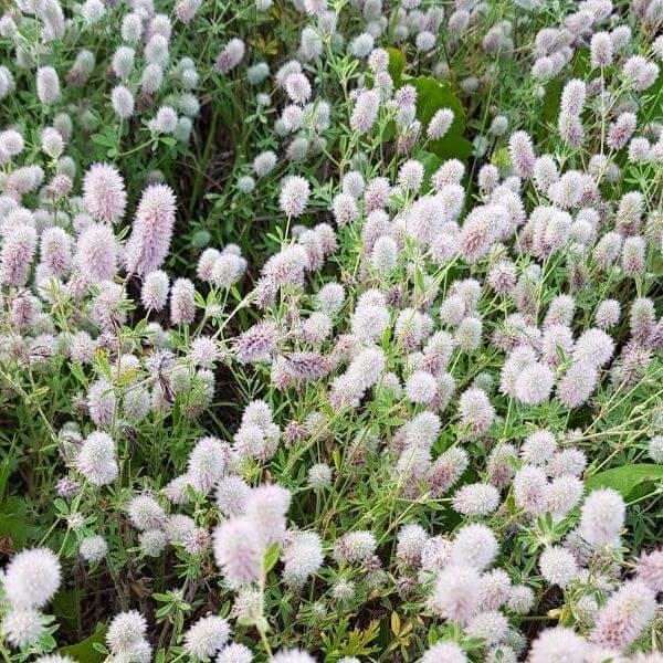Jänönapila - Trifolium arvense - Harklöver frön -Apilan siemenet.