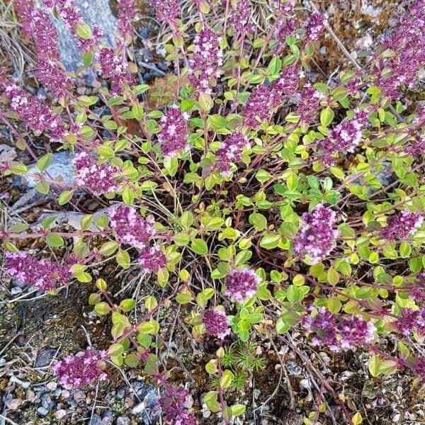 Kangasajuruoho - Thymus serpyllum - Backtimjan frön - siemenet.