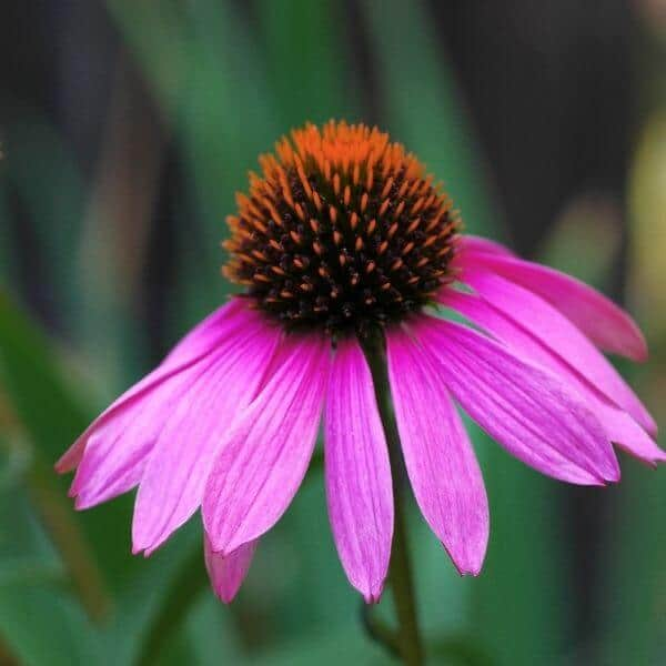 Kaunopunahattu - Echinacea purpurea - Röd rudbeckia frön - Perennojen siemenet.