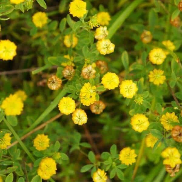 Kelta-apila - Trifolium aureum - Gullklöver frön - Apilan siemenet.