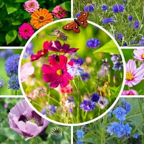 Yksivuotinen kesäkukkaseos perhosille ja pörriäisille.